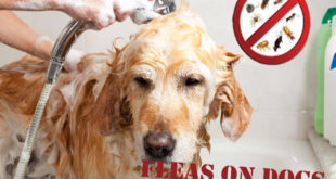 how do you know if your dog has fleas