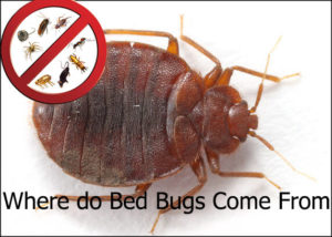Where do Bed Bugs Come From